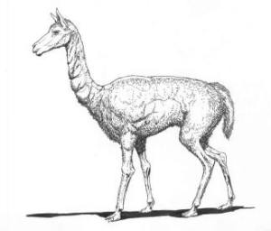 Hemiauchenia, an early North American camel.  Drawing by Gavin McCullough.