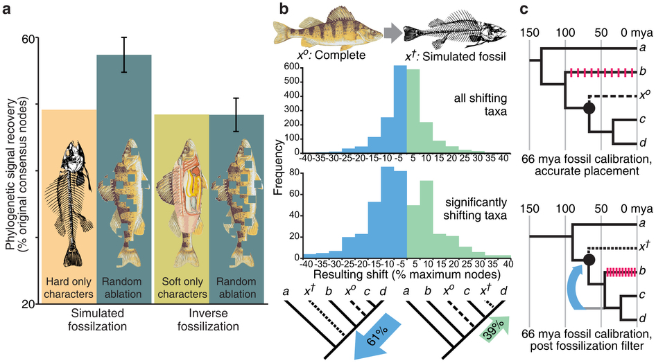 Figure from Sansom and Willis 2013 showing fossilization study results.