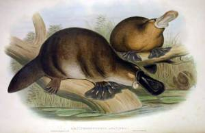 The poor platypus, he has no stomach (but at least he has poison spurs). John Gould. 1863. Wikimedia.