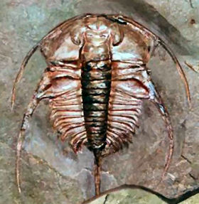 Here is Bristolia for comparison. This image is also from trilobites.info