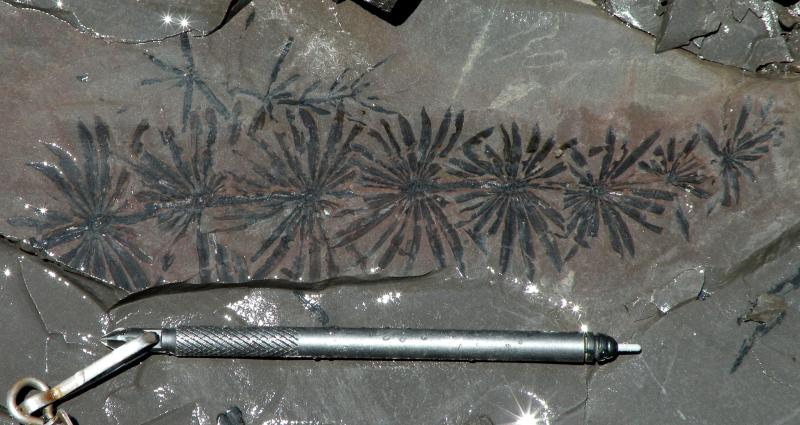 Calamites showing leaves. Arkansas Geological Survey.