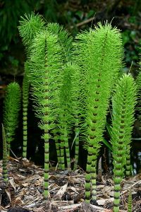 Great Equisetum. Wikimedia.