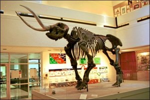 Mastodon, Arkansas State University Museum