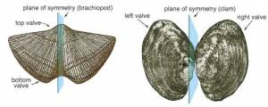Symmetry in a brachiopod and clam. www.kgs.ku.edu