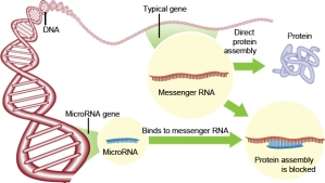 MicroRNA at work. by Steve Karp