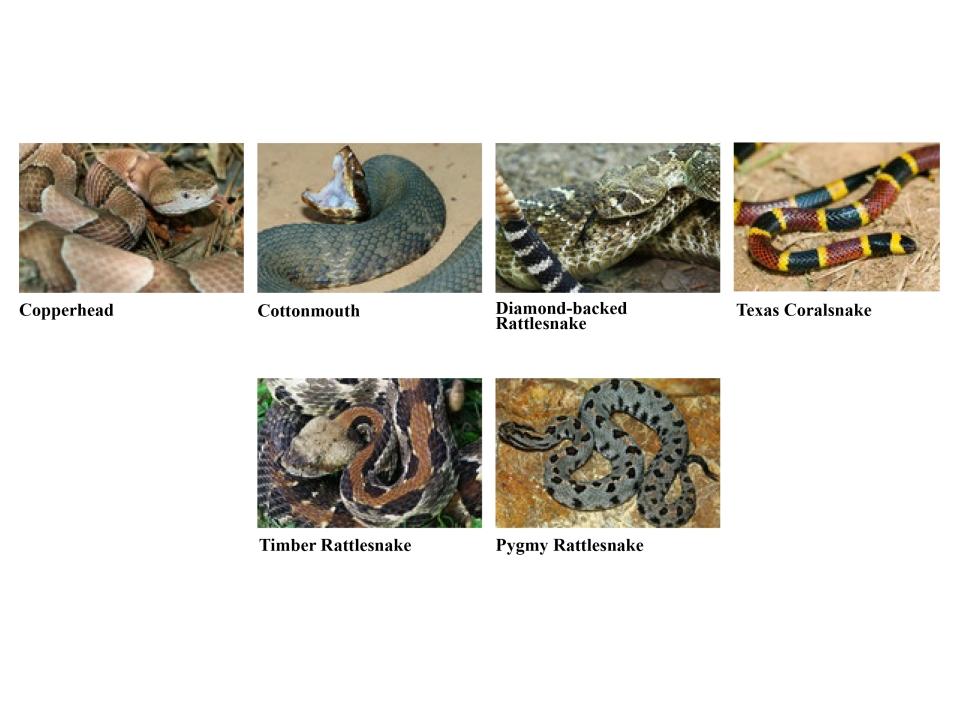 Venomous snakes of Arkansas. Baptisthealblog.com
