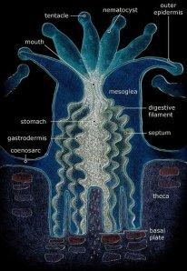 Coral polyp anatomy. Fossilmuseum.net.