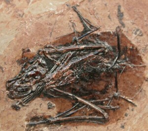 Palaeochiropteryx, a fossil bat from the Messel Shales. Fossilmuseum.net.