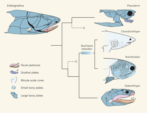 What Entelognathus says about fish relationships. Palaeontology: A jaw-dropping fossil fish Matt Friedman & Martin D. Brazeau Nature 502, 175–177 (10 October 2013) doi:10.1038/nature12690