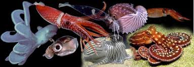 Cephalopod diversity. Tolweb.org