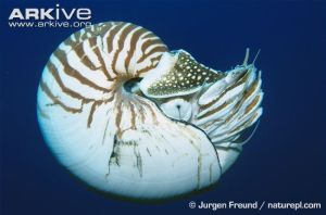 Nautilus. Arkive.com