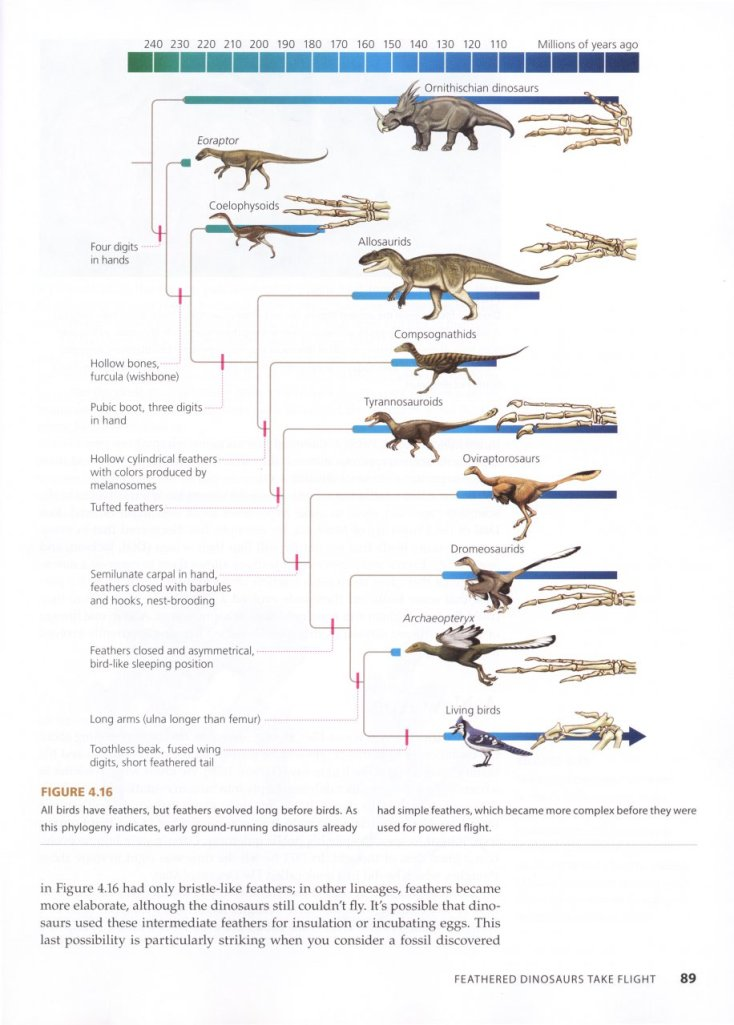 One of the many phylogenetic trees in the book showing the evolution of, in this case, birds from dinosaurs.