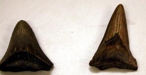 megalodonteeth