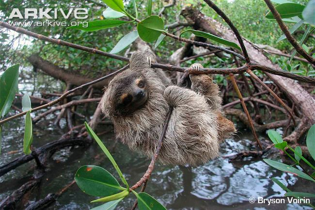Pygmy-three-toed-sloth