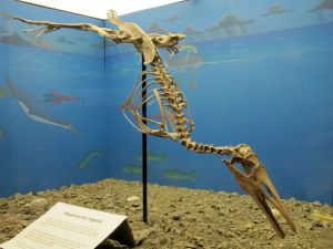 Hesperornis regalis skeleton at the Canadian Fossil Discovery Centre, Morden, MB. Wikipedia.
