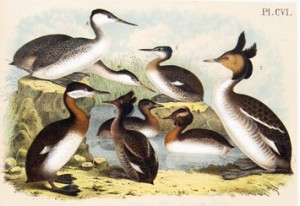 Grebes and loons. Studer's Popular Ornithology: The Birds of North America  by Jacob H. Studer, with illustrations by Theodore Jasper (1878)