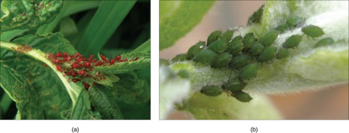 "(a) Red aphids get their color from red carotenoid pigment. Genes necessary to make this pigment are present in certain fungi. Scientists speculate that aphids acquired these genes through HGT after consuming fungi for food. If genes for making carotenoids are inactivated by mutation, the aphids revert back to (b) their green color. Source: Boundless. ""Horizontal Gene Transfer."" Boundless Biology. Boundless, 02 Jan. 2015. Retrieved 22 Jan. 2015 from https://www.boundless.com/biology/textbooks/boundless-biology-textbook/phylogenies-and-the-history-of-life-20/perspectives-on-the-phylogenetic-tree-135/horizontal-gene-transfer-545-11754/"