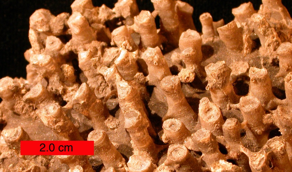 "Tabulate coral found near Hiwasse, Arkansas. ""Syringoporid"" by Wilson44691 - Own work. Licensed under Public Domain via Wikimedia Commons"