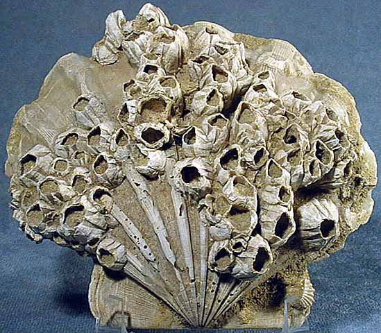 Barnacles on a clam. Natural History Museum, Humboldt University. http://www2.humboldt.edu/