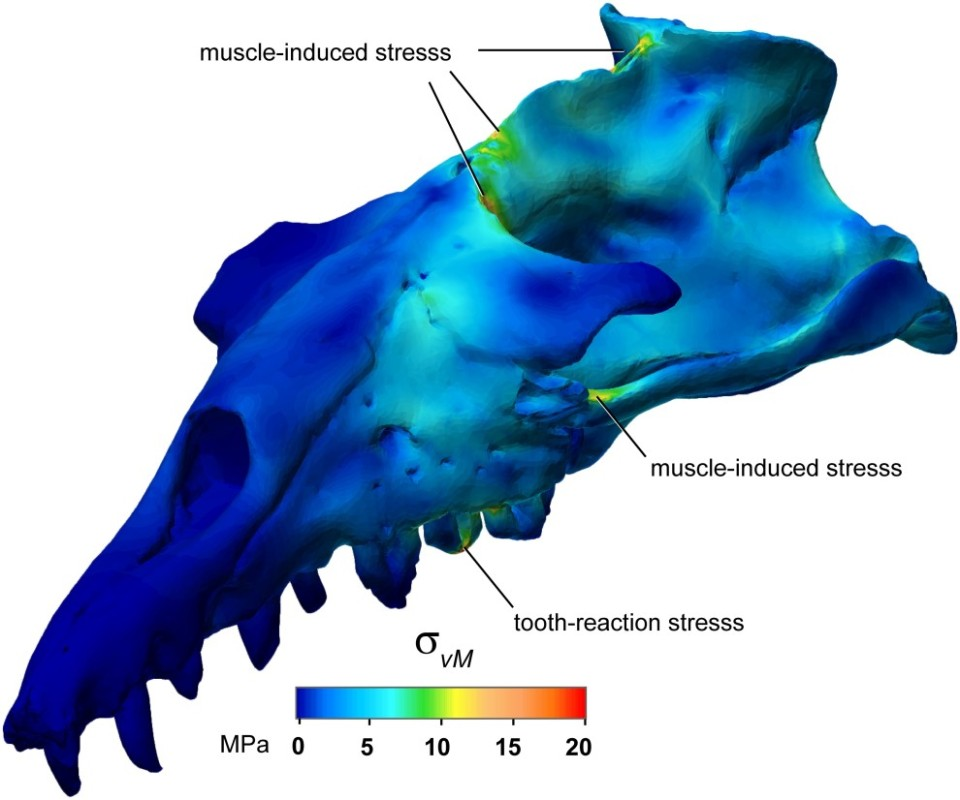 FEA analysis of a Basilosaurus skull. Snively et al. 2015. http://journals.plos.org/plosone/article?id=10.1371/journal.pone.0118380