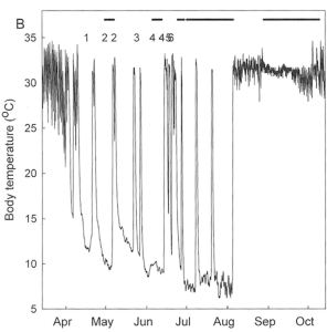 Body temperature of a female echidna throughout one year. From April to August, it hibernated for short bouts, interrupted by short active periods and for mating in June.