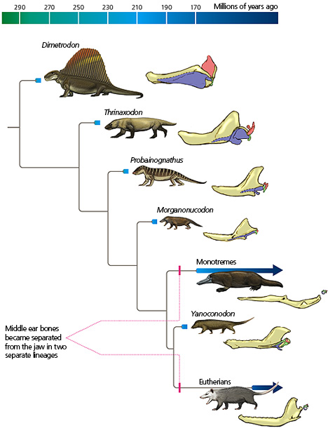 The evolution of the mammalian middle ear. http://evolution.berkeley.edu/evolibrary/article/evograms_05