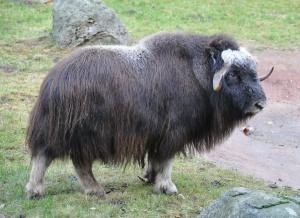 Tundra muskox. Wikipedia.