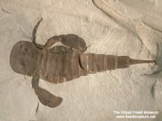 Eurypterus-remipes-L