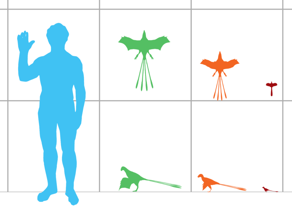 Size_comparison_of_scansoriopterygid_dinosaurs