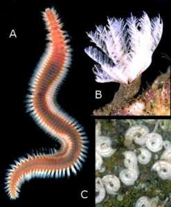 Rudman, W.B., 2004 (July 27) Polychaete Worms (Bristle worms). [In] Sea Slug Forum. Australian Museum, Sydney. www.seaslugforum.net/find/polychaete