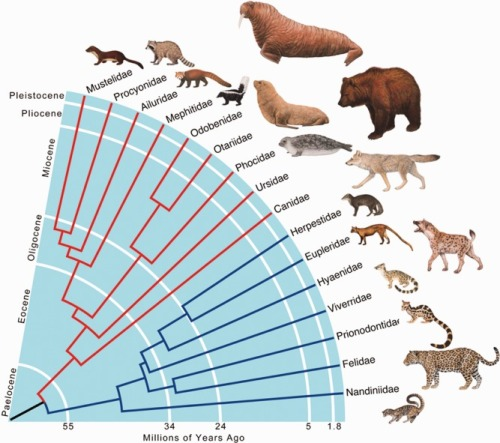 Figure-1-Time-calibrated-phylogeny-of-the-order-Carnivora-at-the-family-level-based-on