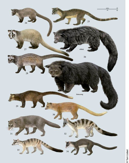 tonillobet_wildlifeart_civets3_plate