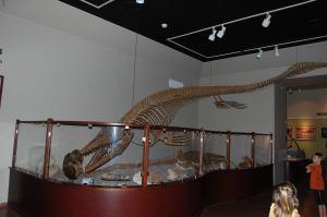 Mosasaur in UT-Austin museum