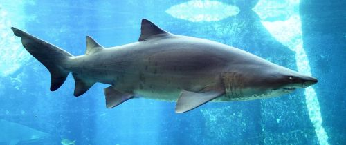 Carcharias_taurus_in_UShaka_Sea_World_1079-a