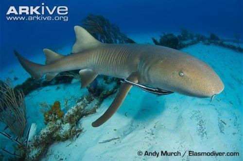 Nurse-shark-swimming