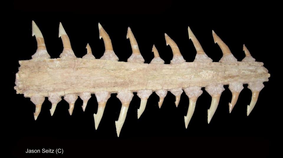 Onchopristis numidus black JCS
