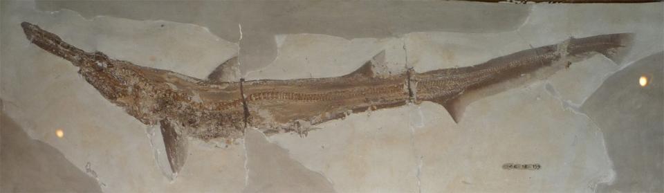 Scapanorhynchus.jpg