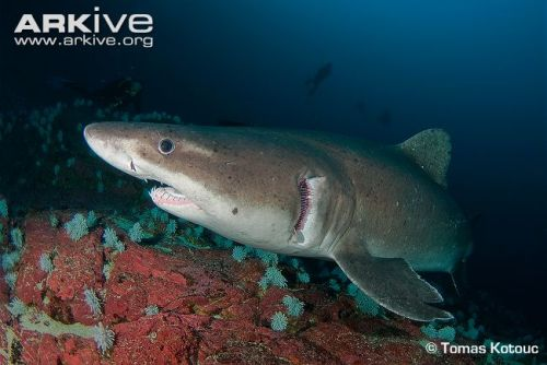 Smalltooth-sand-tiger-shark-portrait