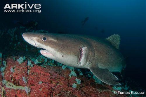 Smalltooth-sand-tiger-shark-portrait