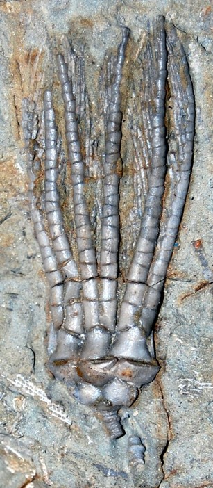 crinoidfronds