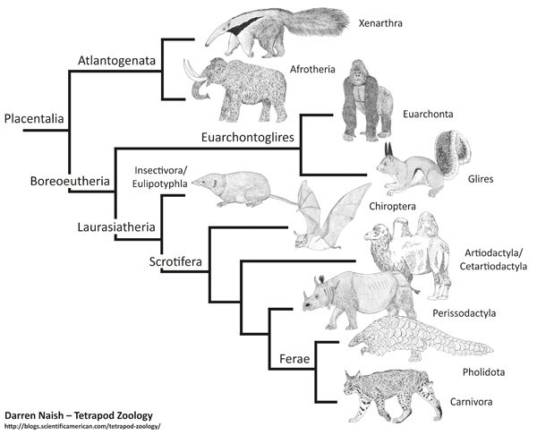 placentals-molecular-phylogeny-600-px-tiny-July-2015-Darren-Naish-Tetrapod-Zoology(1)